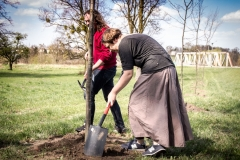 Sadzenie drzew na Zielonej-12
