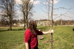 Sadzenie drzew na Zielonej-17