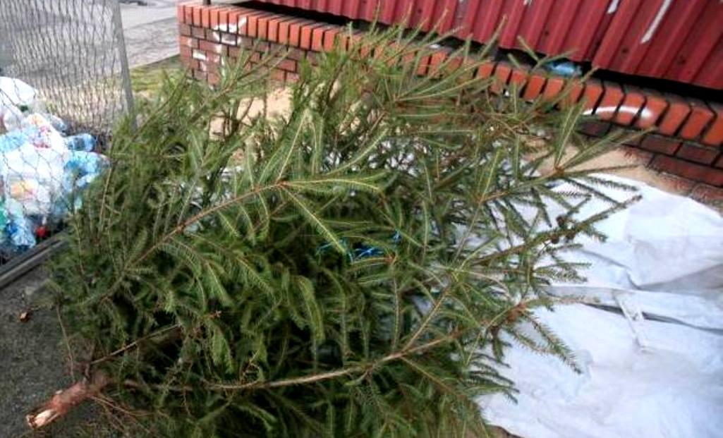 Co zrobić z drzewkami choinkowymi?